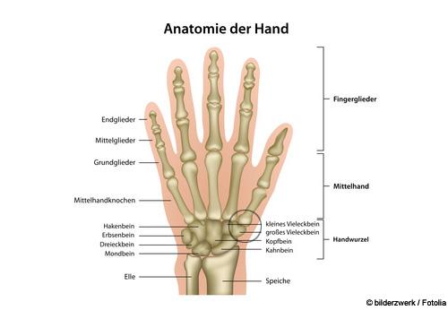 Das Handgelenk besteht aus acht Handwurzelknochen, die in zwei Reihen angeordnet sind. Die obere (körpernahe) Reihe ist mit den Knochen des Unterarms (Elle und Speiche) verbunden. © Bilderzwerg / Fotolia
